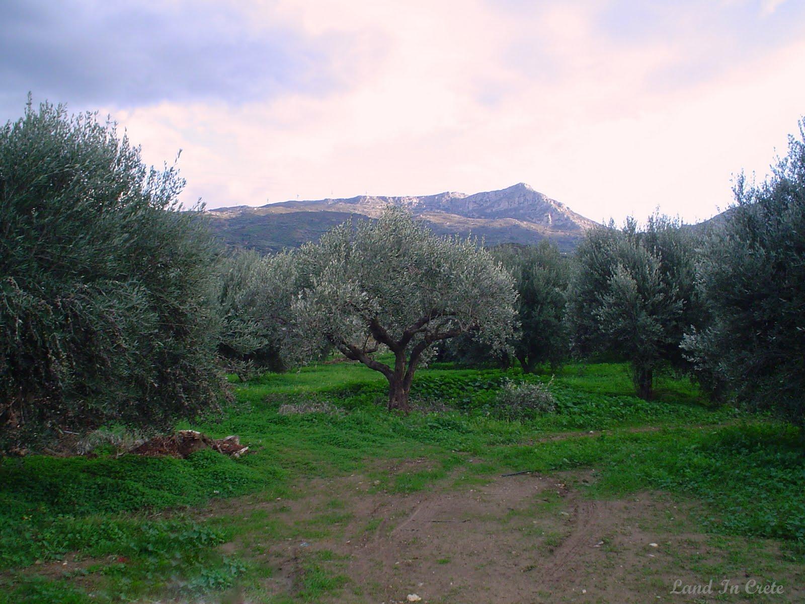 Оливковые рощи Ситии