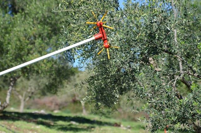 ручной сбор оливок Olivi