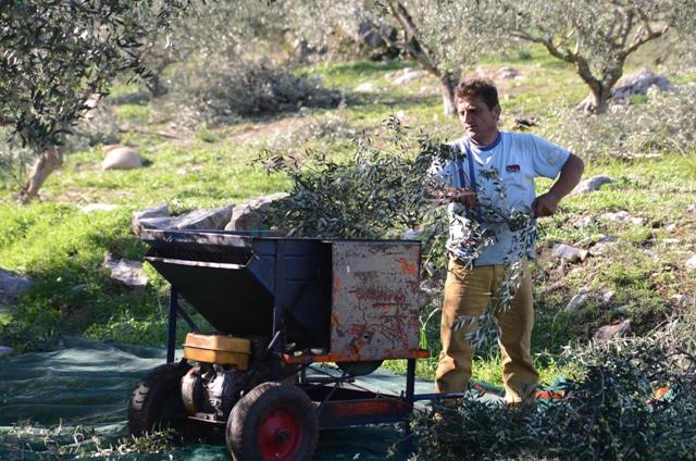 Старые ветки обрезаются для снятия оливок