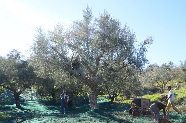 Роща Olivi на солнечном склоне во время сбора урожая